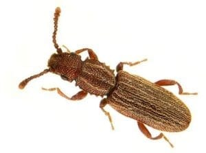 Saw Toother grain Beetle